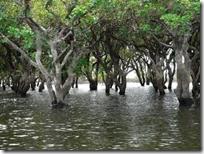 затонувший лес в камбодже